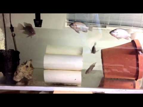 (12/23/2016) How to Set Up a Tilapia Breeder Colony
