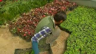 22 Apr, 2018 - Demand for flower, plant saplings surges in spring season in Kashmir - ANIINDIAFILE