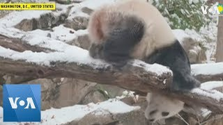 Panda Frolics in Snow at Washington's National Zoo - VOAVIDEO