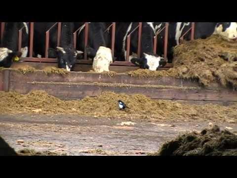 Air Rifle Hunting, Farmyard Vermin Control 6, 2011