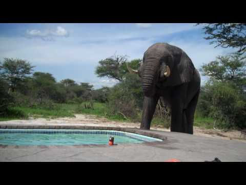 Elephant crashes pool party