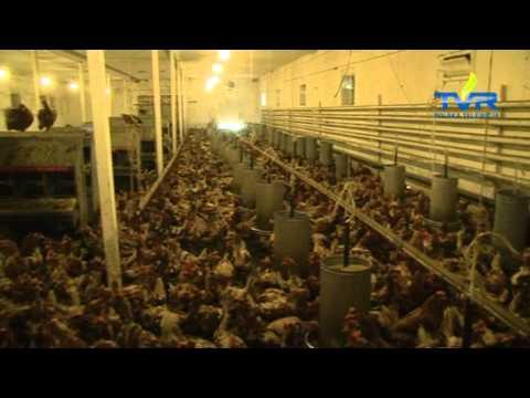 Kury z dużego kurnika i te przydomowe znoszą takie same jaja. Wybór to kwestia poglądów w sprawie traktowania zwierząt hodowlanych.