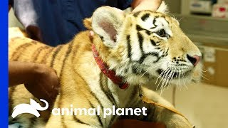 Tiger On The Loose! | The Vet Life: Extreme Animal Encounters - ANIMALPLANETTV