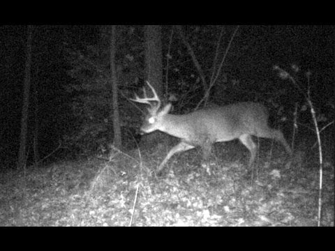 BIG Buck Moultrie Trail Camera. Whitetail Deer