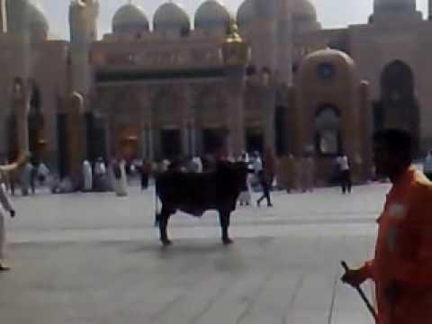فيديو ثور هائج بالمدينة المنورة المسجد النبوي