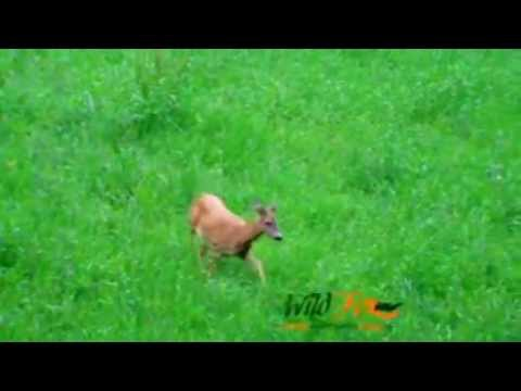 hunting video - polovnicke video