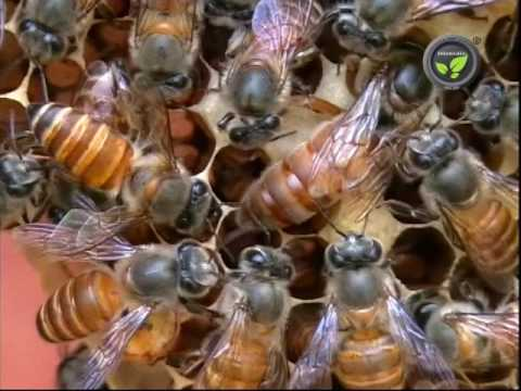 Honeybee - A Wonderful Social Insect