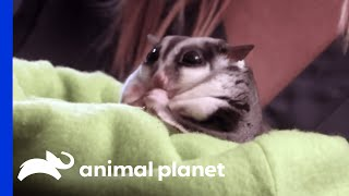 This Pudgy Sugar Glider Weighs Twice What He Should - ANIMALPLANETTV