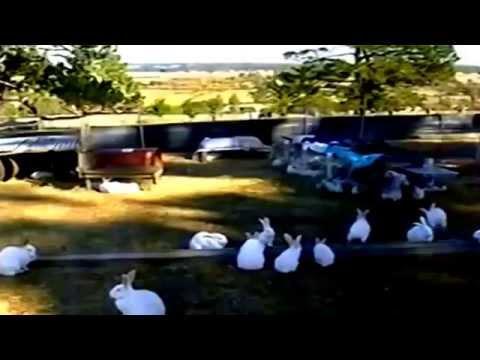 Ternak Kelinci - Ternak Kelinci Modern di Australia