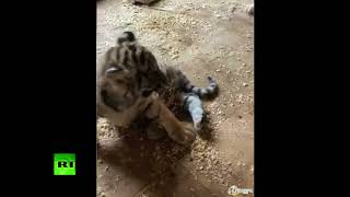 What you need on a Friday evening: Tiger cub & puppy play together at Russian zoo - RUSSIATODAY