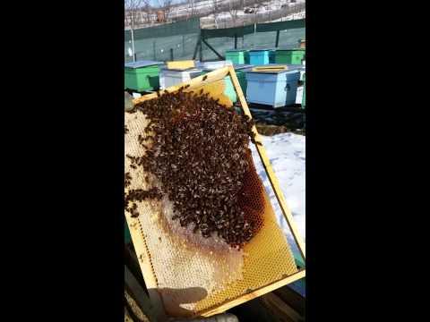 Verificarea familiilor de albine 17.01.2015