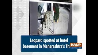 Leopard spotted at hotel basement in Maharashtra's Thane | Watch - INDIATV