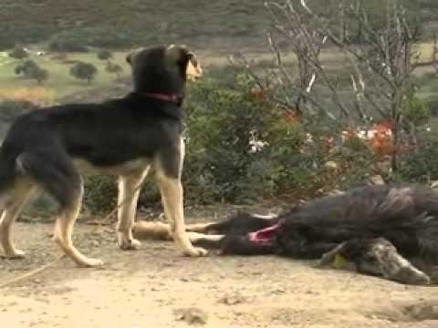 Σκύρος ταΐζουν τα τσοπανόσκυλα με νεκρά κατσίκια 1/2012