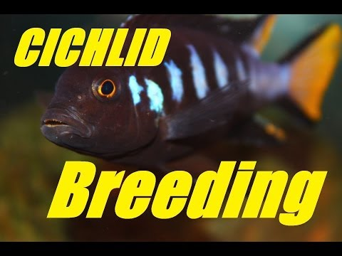 African Cichlid Breeding - Courtship and Mating Dance (18+)