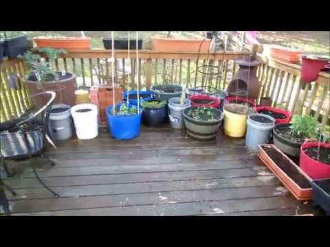 Garden Tour 1: Out of Winter Hibernation, Green Growth and Using Lettuce Transplants