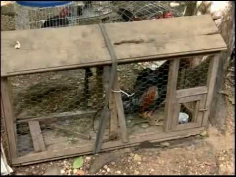 Polícia ambiental descobre rinha de galo e apreende dezenas de animais