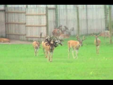 Largest Whitetail Deer Ever