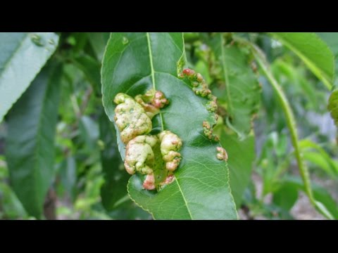 What Should You Do If You See This On Your Fruit Trees?