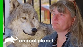 Owners Need To Make A Tough Decision About Their Beloved Pet | Wolves and Warriors - ANIMALPLANETTV