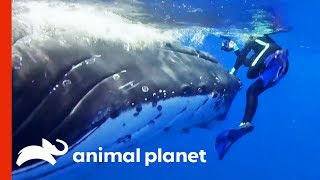 Humpback Whale Tries To Save Diver From Tiger Shark | Weird, True & Freaky - ANIMALPLANETTV