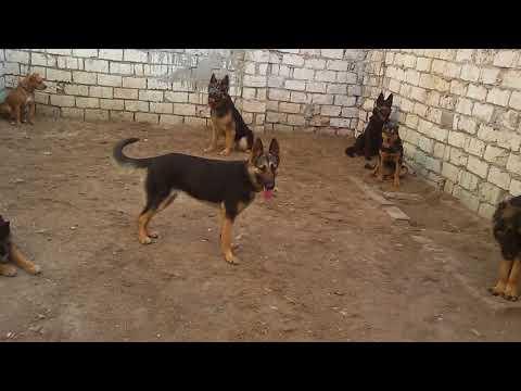 الادب فى تربيه الكلب مطلوب مع كابتن ابونور 01003035709 - صوت وصوره لايف