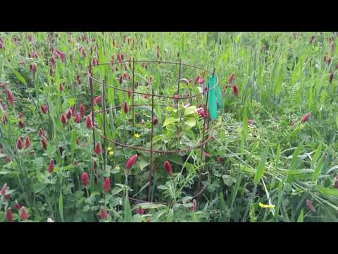 Cover crops in Permaculture orchard and farm building soil