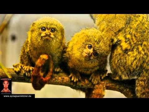 Video screenshot 2 cute monkeys sing the song Frazy by Synapsenkitzler