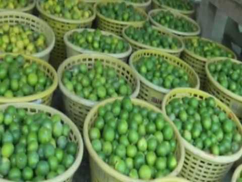 การผลิตมะนาวนอกฤดู
