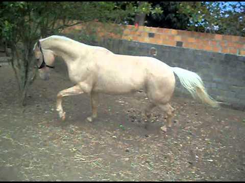 Granfino, meu cavalo quarto de milha de vaquejada dando show fora das pistas 2!