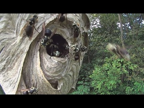 Crazy Mad Bald faced hornets and a Sony Action Camera