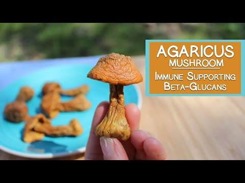 Agaricus Blazei, Immune Supporting Beta-Glucans