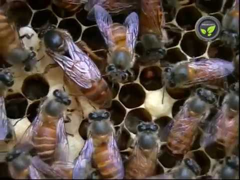 Management of Honeybee Colony, Clubbing Colonies and Division