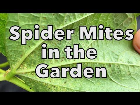 Organic Spider Mite Control in the Vegetable Garden