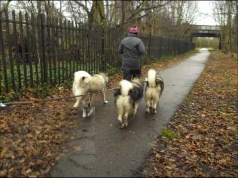 Alaskan Malamute Rescue UK (AMCUK) mega walks  29th dec 2012