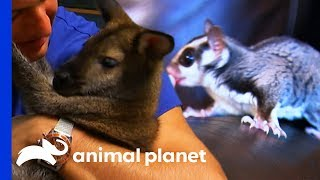 Sugar Glider vs Wallaby: Which Pet Would You Rather Have? | Pets 101 - ANIMALPLANETTV