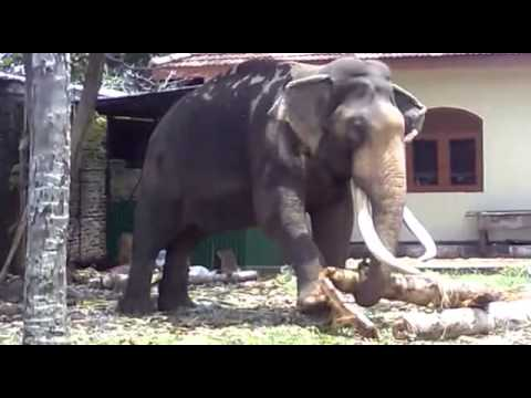 Animal dance Sacred elephant topten funny@croos