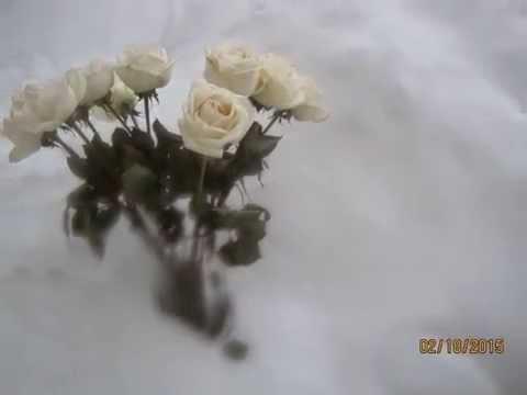 белые розы видео 2015