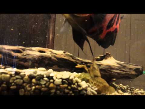 Oscars eating crayfish