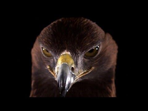 Golden Eagle in mind-blowing super slow motion