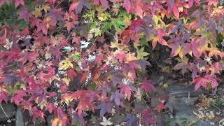 Spectacular Autumn Leaves Peak in the Washington Area - VOAVIDEO