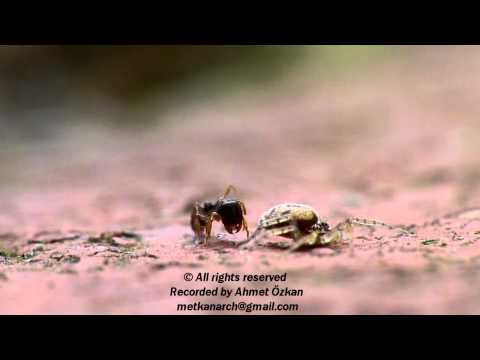 Ant vs Spider (Spider Attack)-The Original Video by Ahmet Ozkan