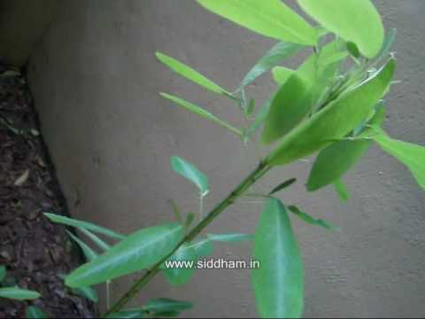 Medicinal Plants or Medicinal Herbs - Desmodium gyrans (Siddha Medicine) (NATURAL REMEDIES) (SIDDHA)