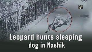 video: घर के बाहर Sleeping Dog पर Leopard का Attack, देखें CCTV