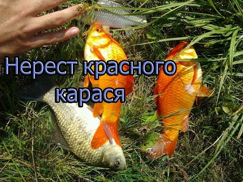 рыбалка на карася в икромет
