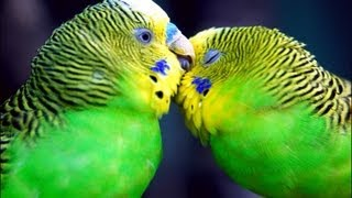 [Parakeets Talking, Chirping, and Flying]