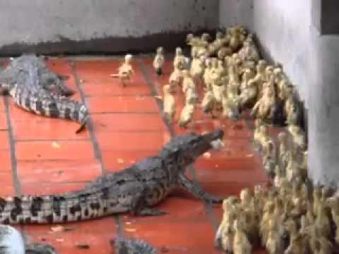 Crocodile Eating Elephant Crocodiles Eat Live Baby