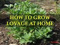 How To Grow Lovage At Home