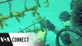 Saving Coral Reefs - VOAVIDEO