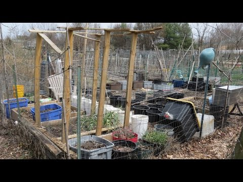 Containers, Quick Bed Amending, Peas & Broccoli, Rabbit Protection :Community Garden 2017 (1)