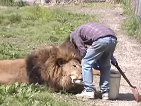 Lion Attack Friendly Powerful Dangerous